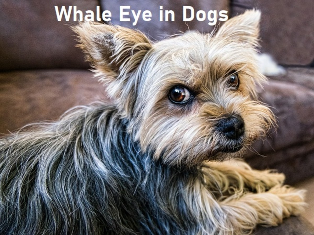 Whale Eye in Dogs: Why Dogs Show the White of Their Eyes