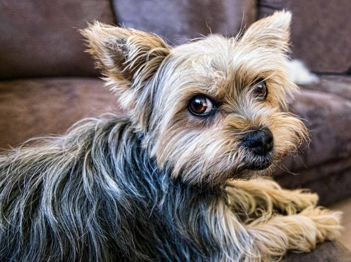 How Do You Fix Small Dog Syndrome?
