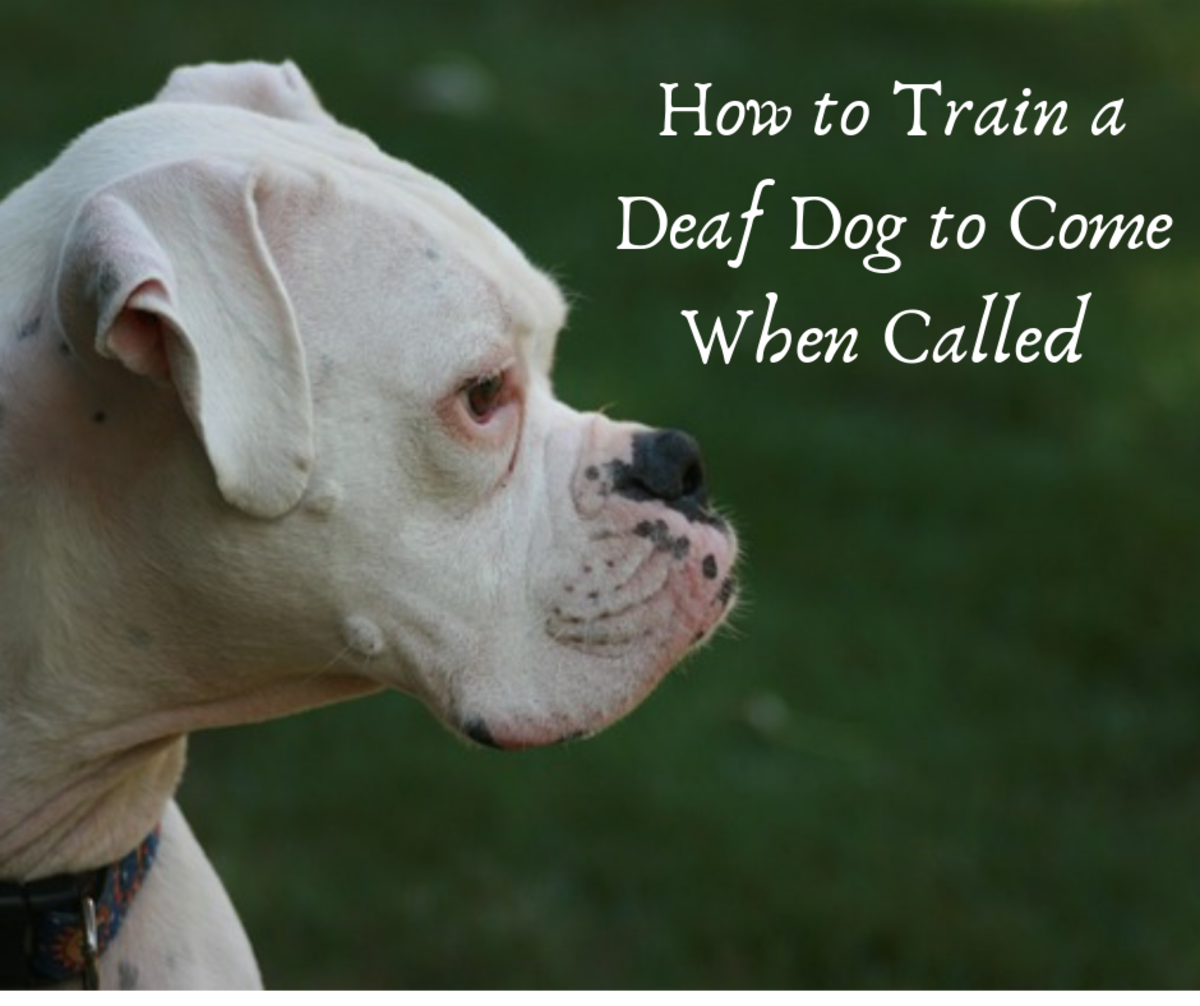 How to Train a Deaf Dog Recall or to Come When Called