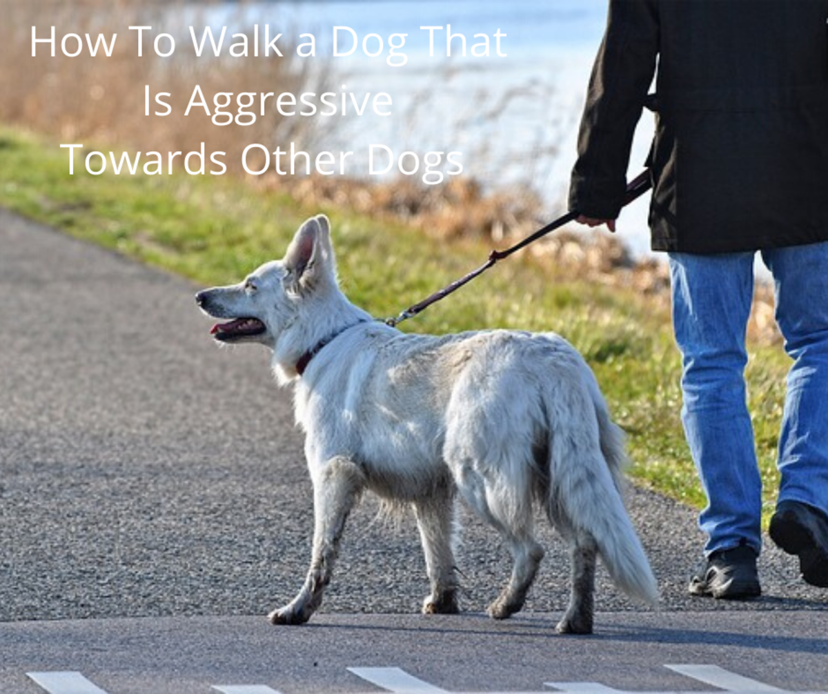 How to Walk a Dog That Is Aggressive Towards Other Dogs