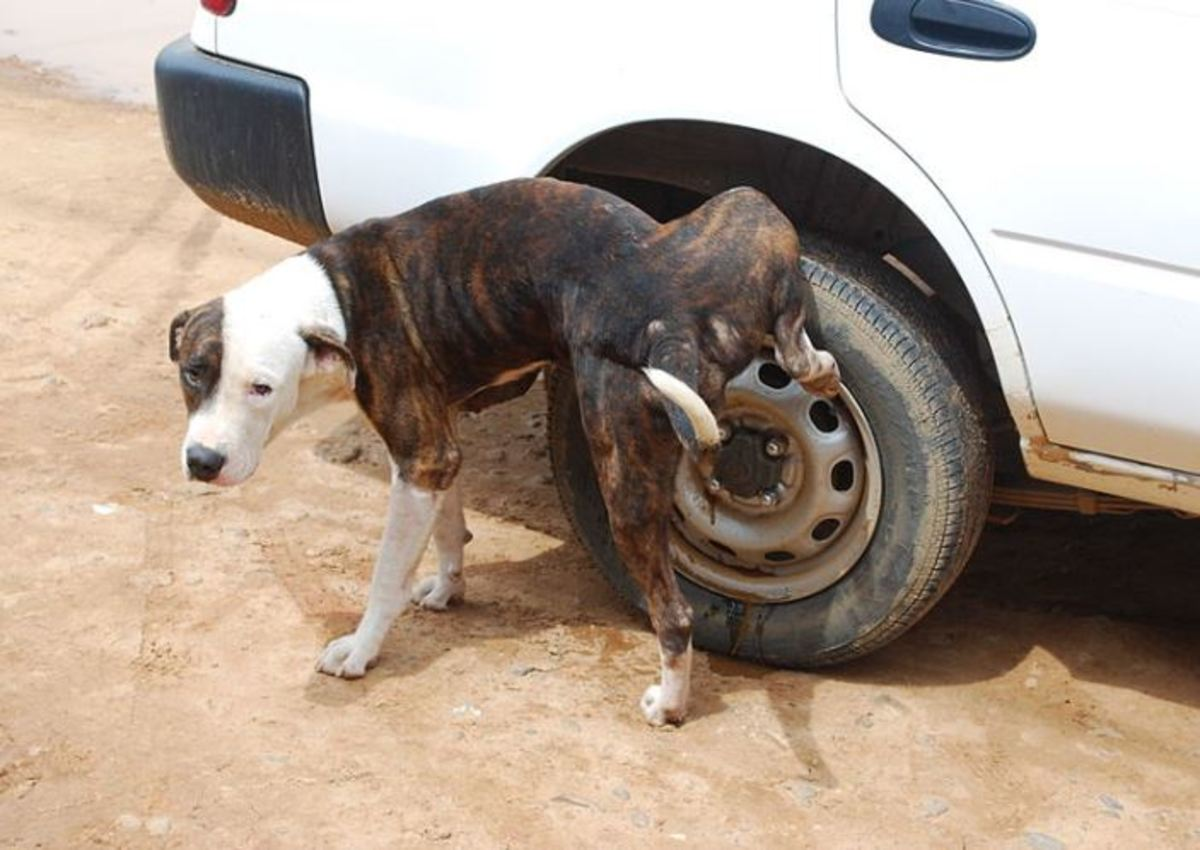 Dog pissing on cars wheel