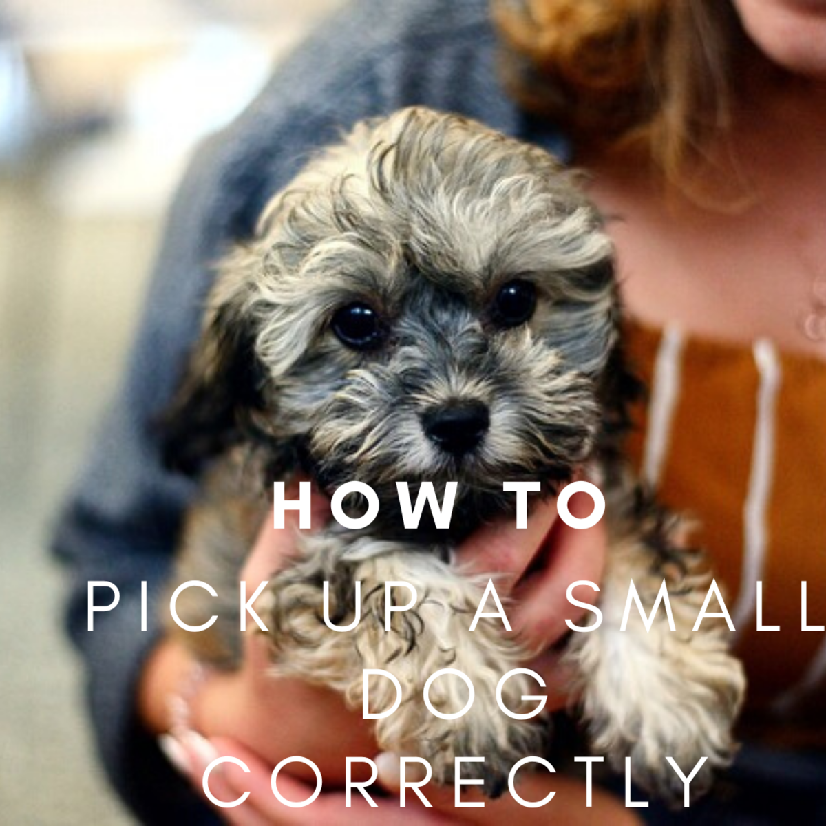 How to Pick up and Hold a Small Dog or Puppy Correctly