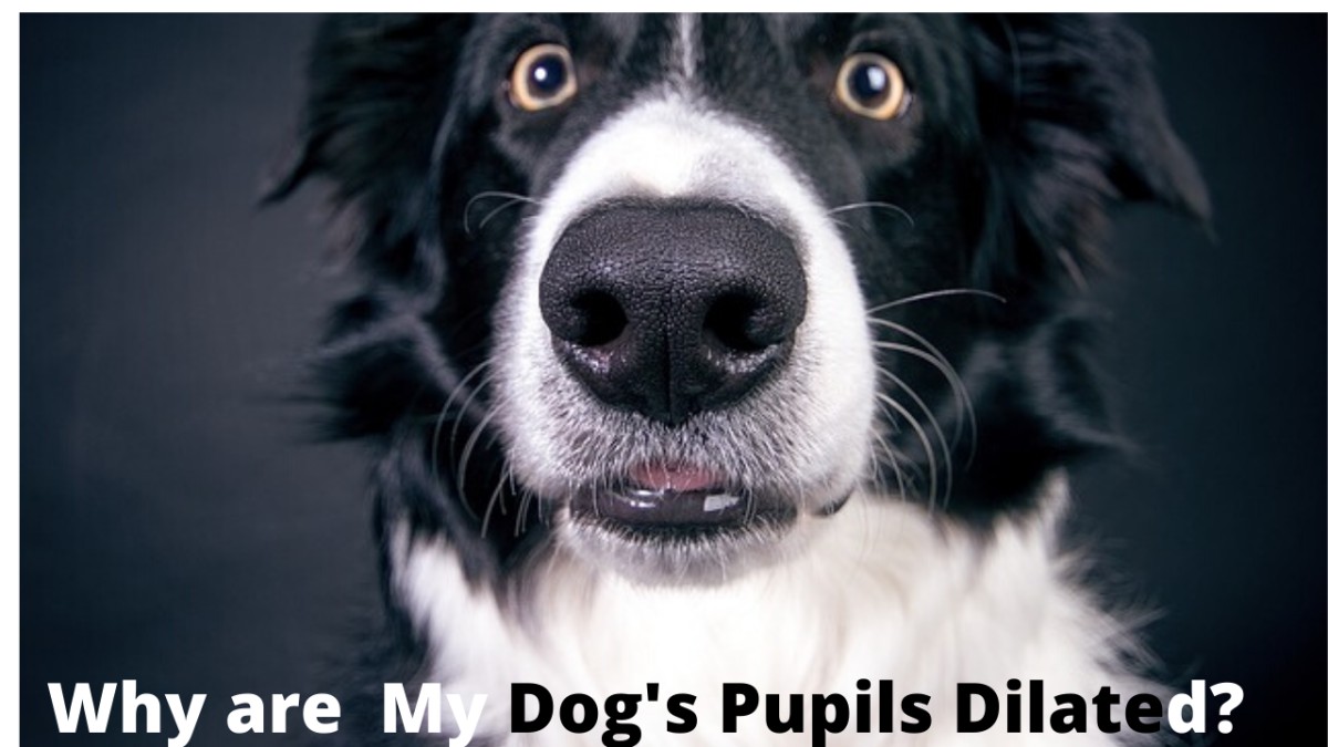 What Causes Dilated or Enlarged Pupils in Dogs?