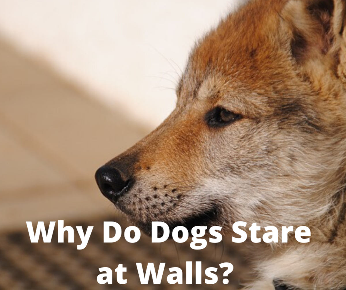 Why Do Dogs Stare at Walls?