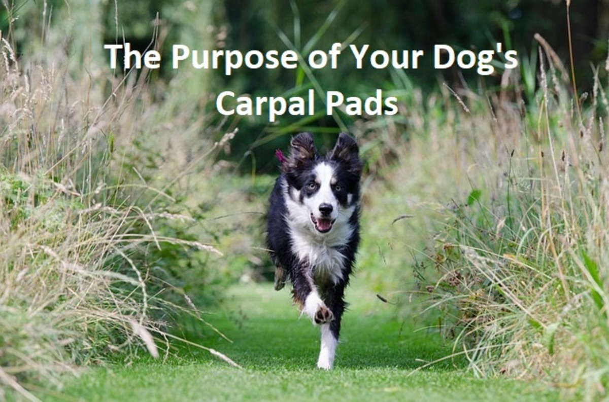 What's the Purpose of Your Dog's Carpal Pads?