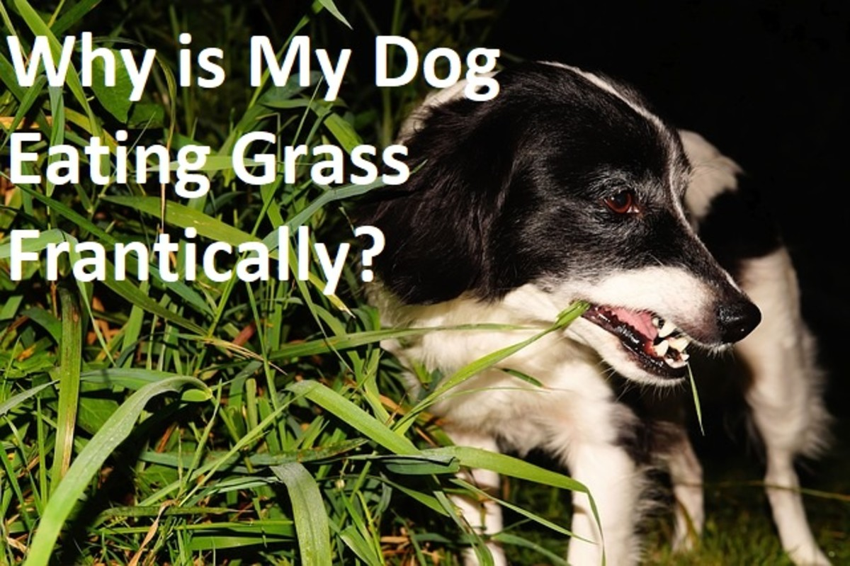 why-is-my-dog-eating-grass-frantically