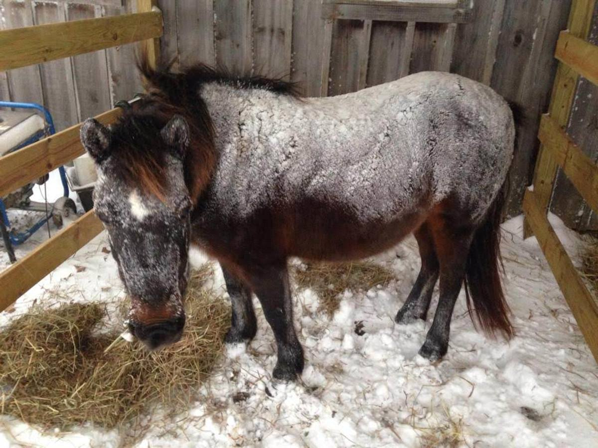 To Blanket or Not to Blanket Your Horse in the Winter?