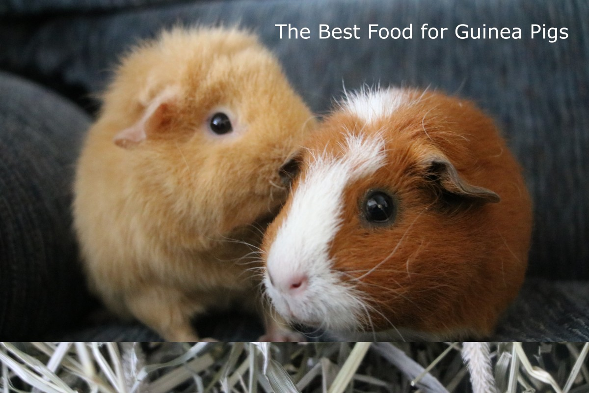 The Best Guinea Pig Diet