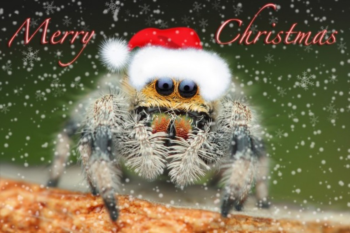 This adorable jumping spider wants to wish you a merry Christmas!
