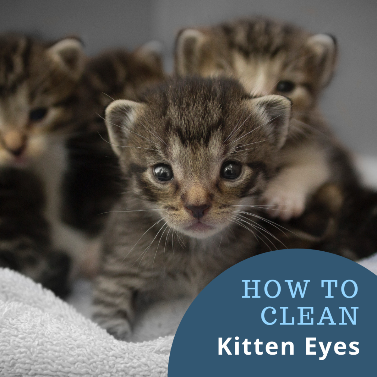 Tips for keeping kitten eyes clear and clean.
