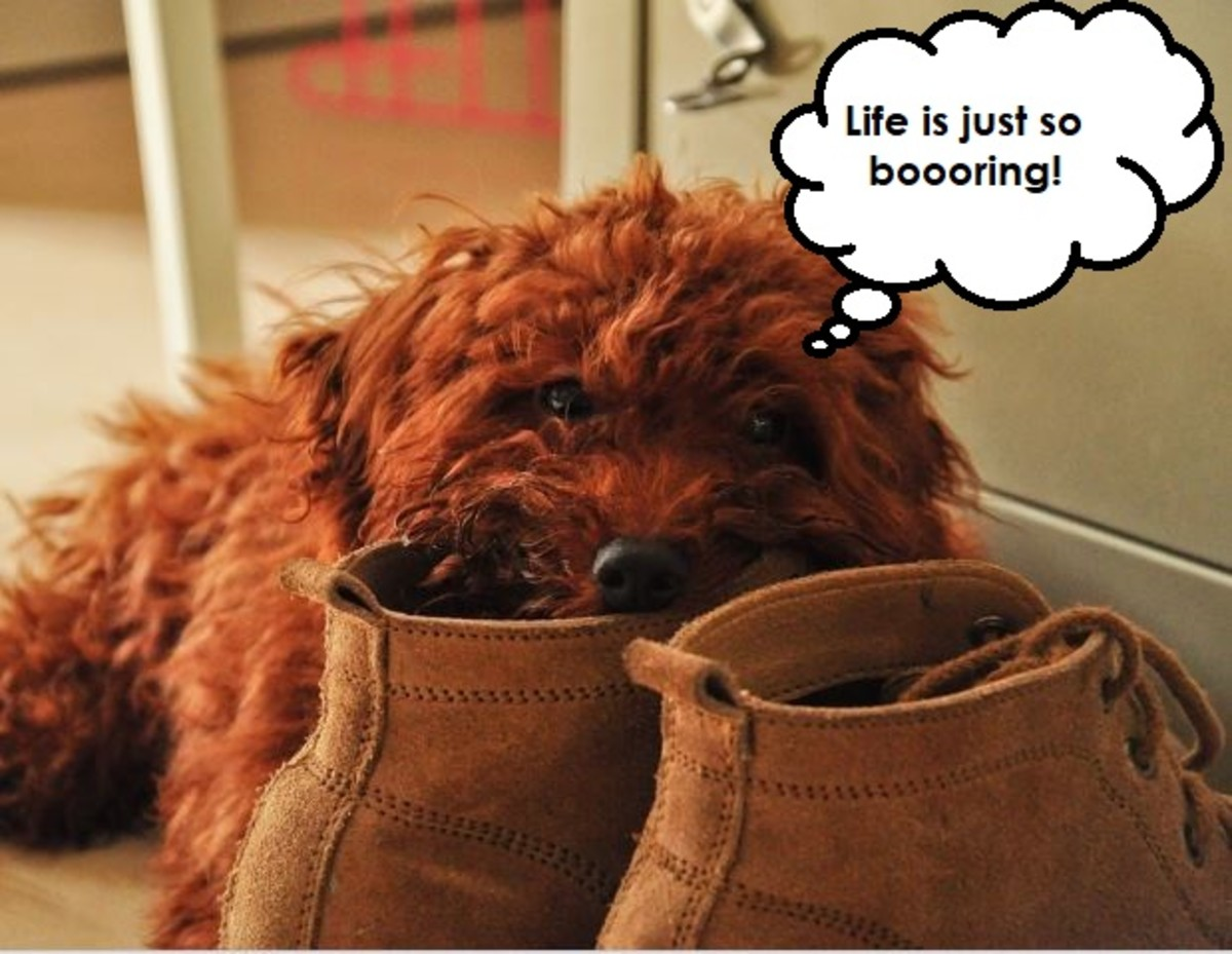 How to Stop a Dog From Eating Shoes and Slippers!
