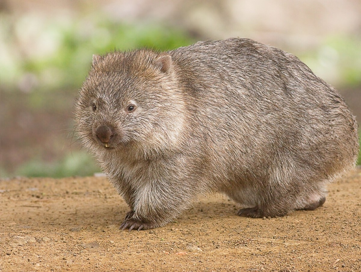 A common wombat