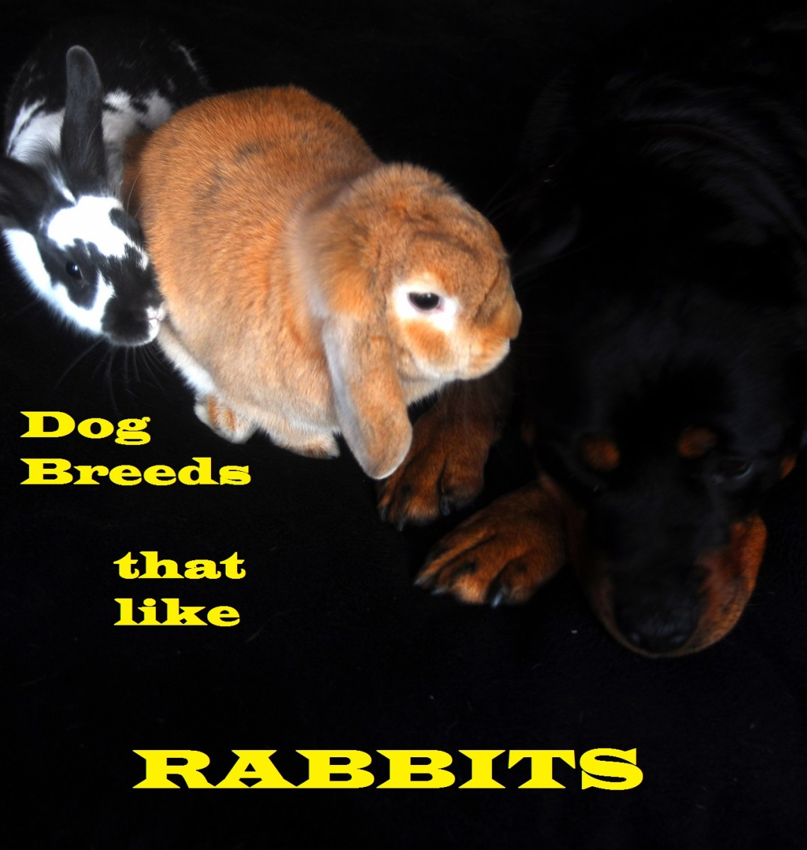 Dogs can get along with rabbits.