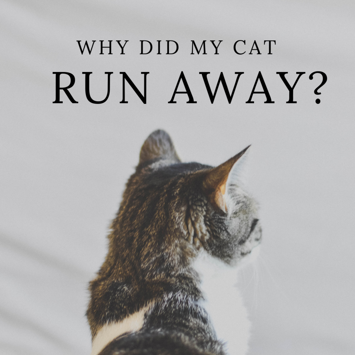 Why Do Cats Leave Home or Run Away and Not Come Back?