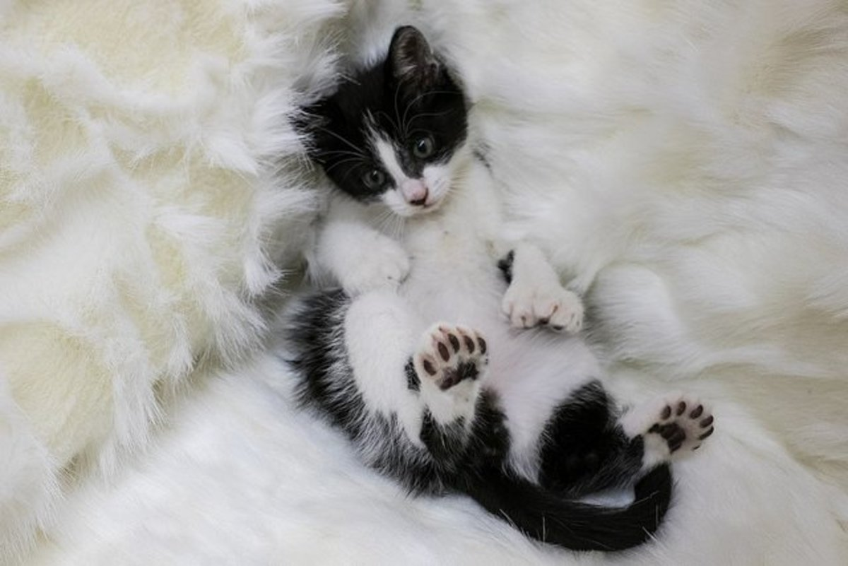 Intriguing Facts About Polydactyl Cats