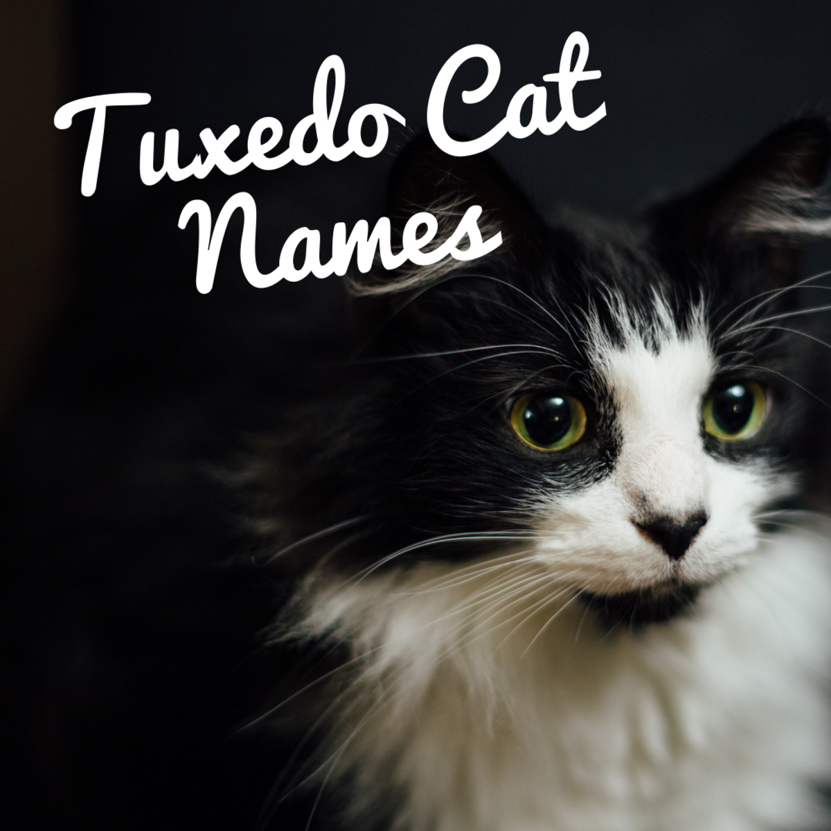 120+ Best Names for Black and White Tuxedo Cats