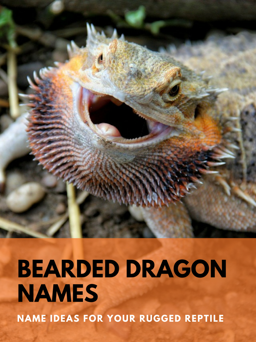 230+ Bearded Dragon Names for Your Rugged Reptile