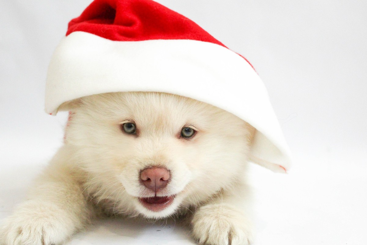 Holiday Puppies: Should You Get a Puppy for Christmas?