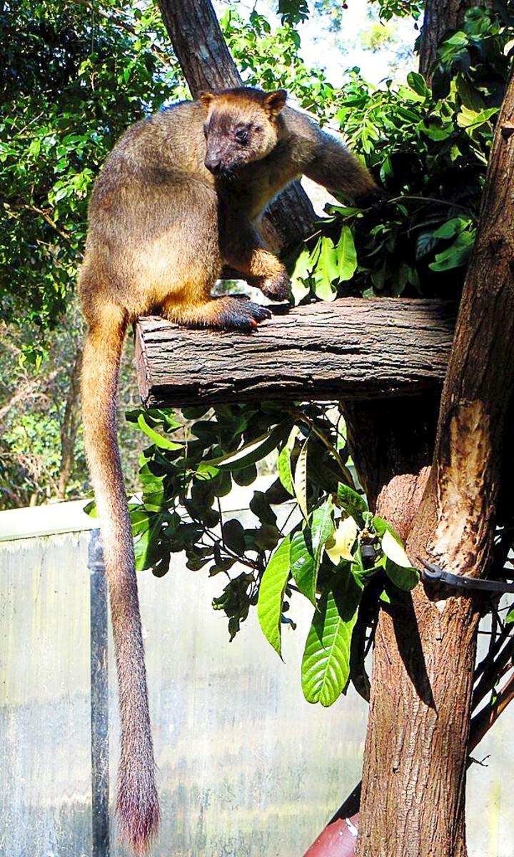 A  Lumholtz's tree kangaroo in a wildlife park