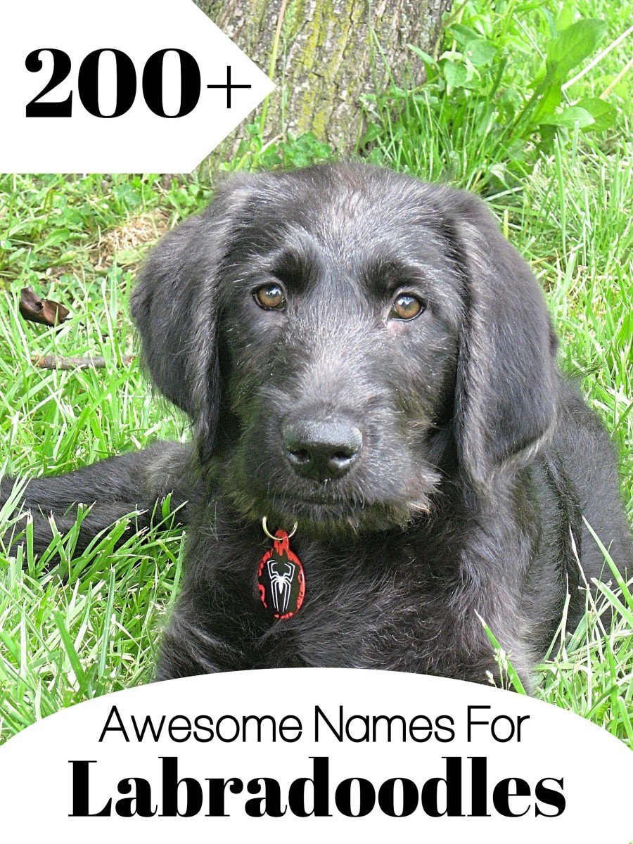 Find over 200 names to choose from for your new Labradoodle.