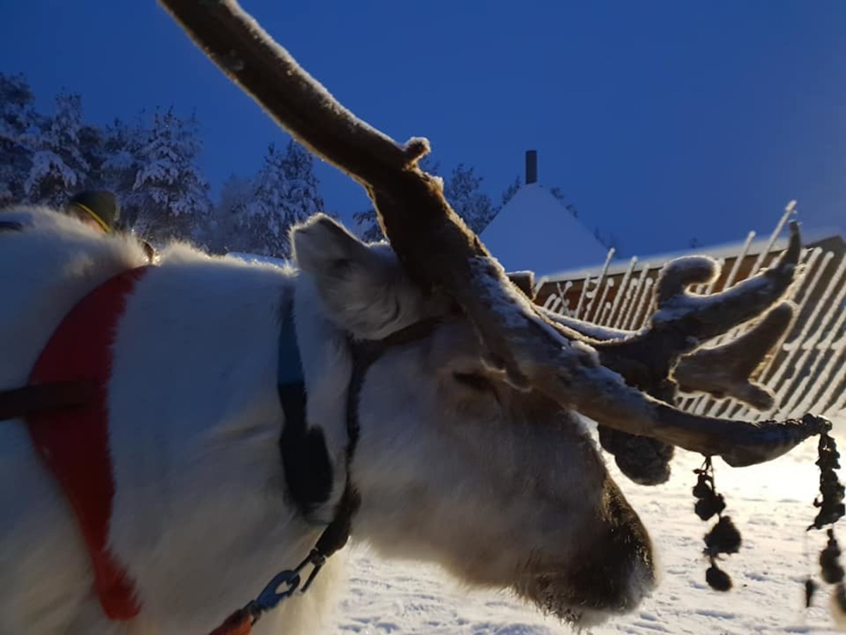 A rare white reindeer.