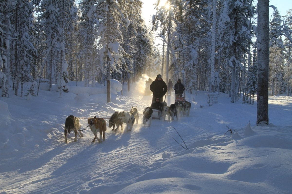 A Husky team running through the forest trail.