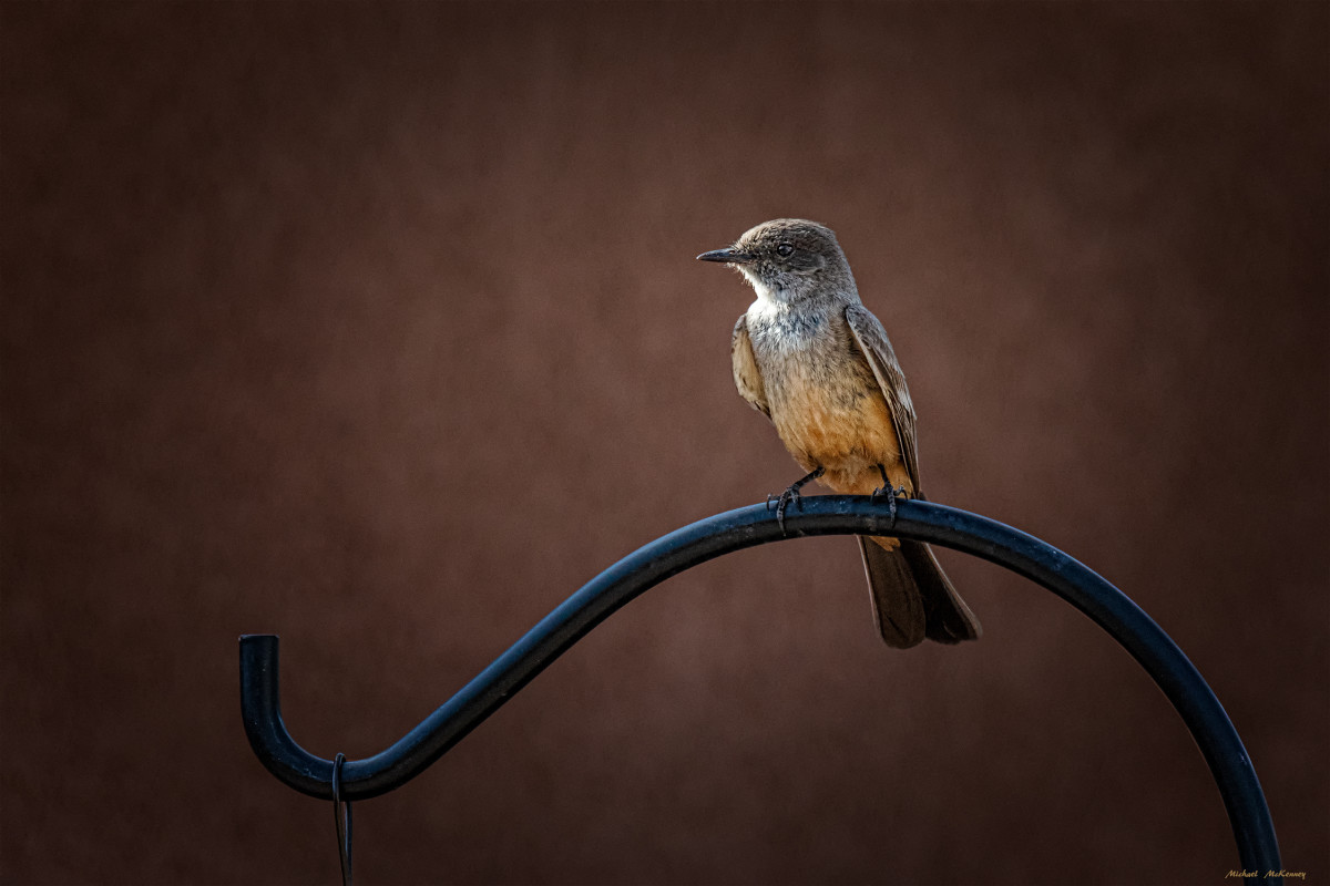 The Delicately-Hued Say's Phoebe Flycatcher Doesn't Need to Drink Water and Prefers the Dry Country of the West