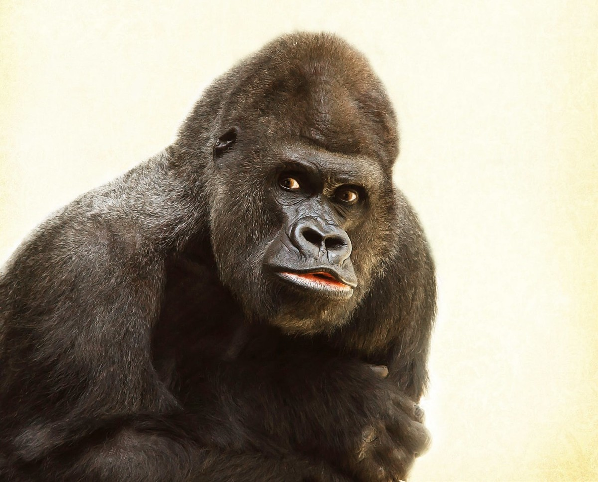 Do You Think That This Gorilla Is Beautiful?