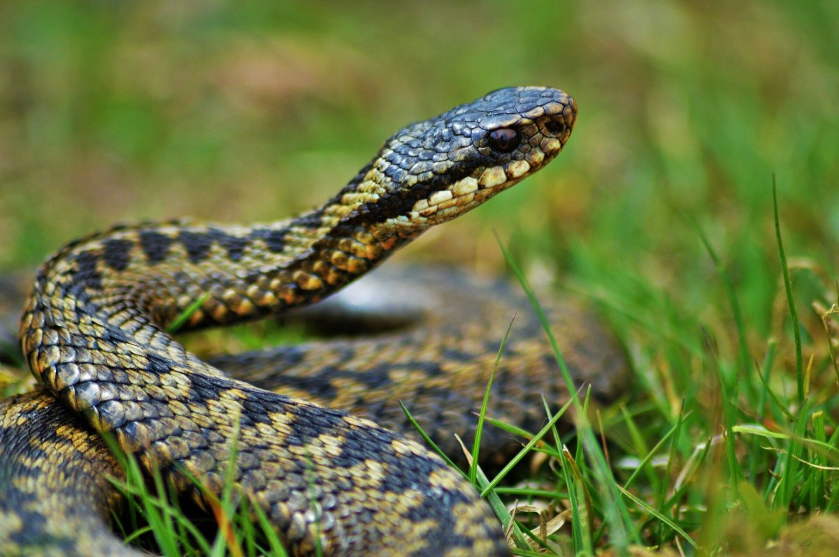 What You Need to Know About the Risk of Adder Bites to Your Dog