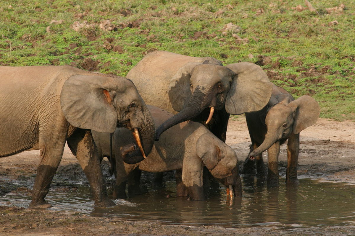 A group of forest elephants at a water hole