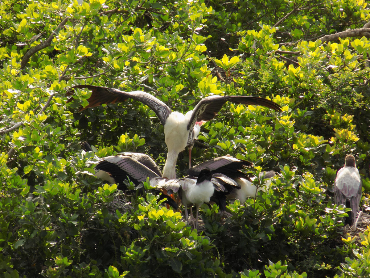 A painted stork feeding its babies at Vedanthangal