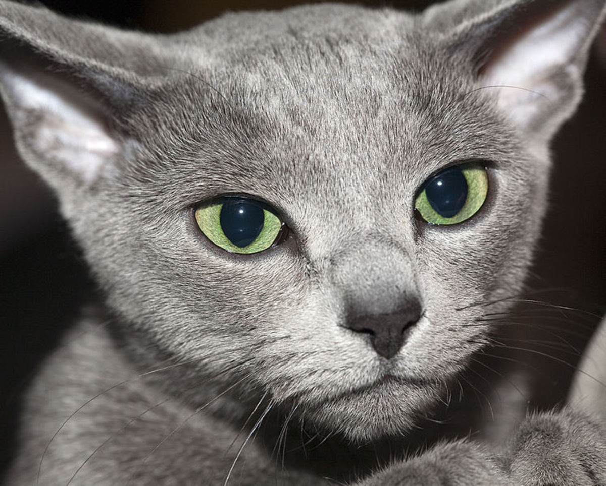 Male Russian Blue