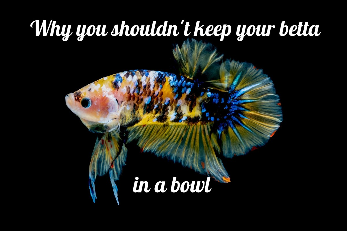 Why You Should Not Keep a Betta Fish in a Bowl