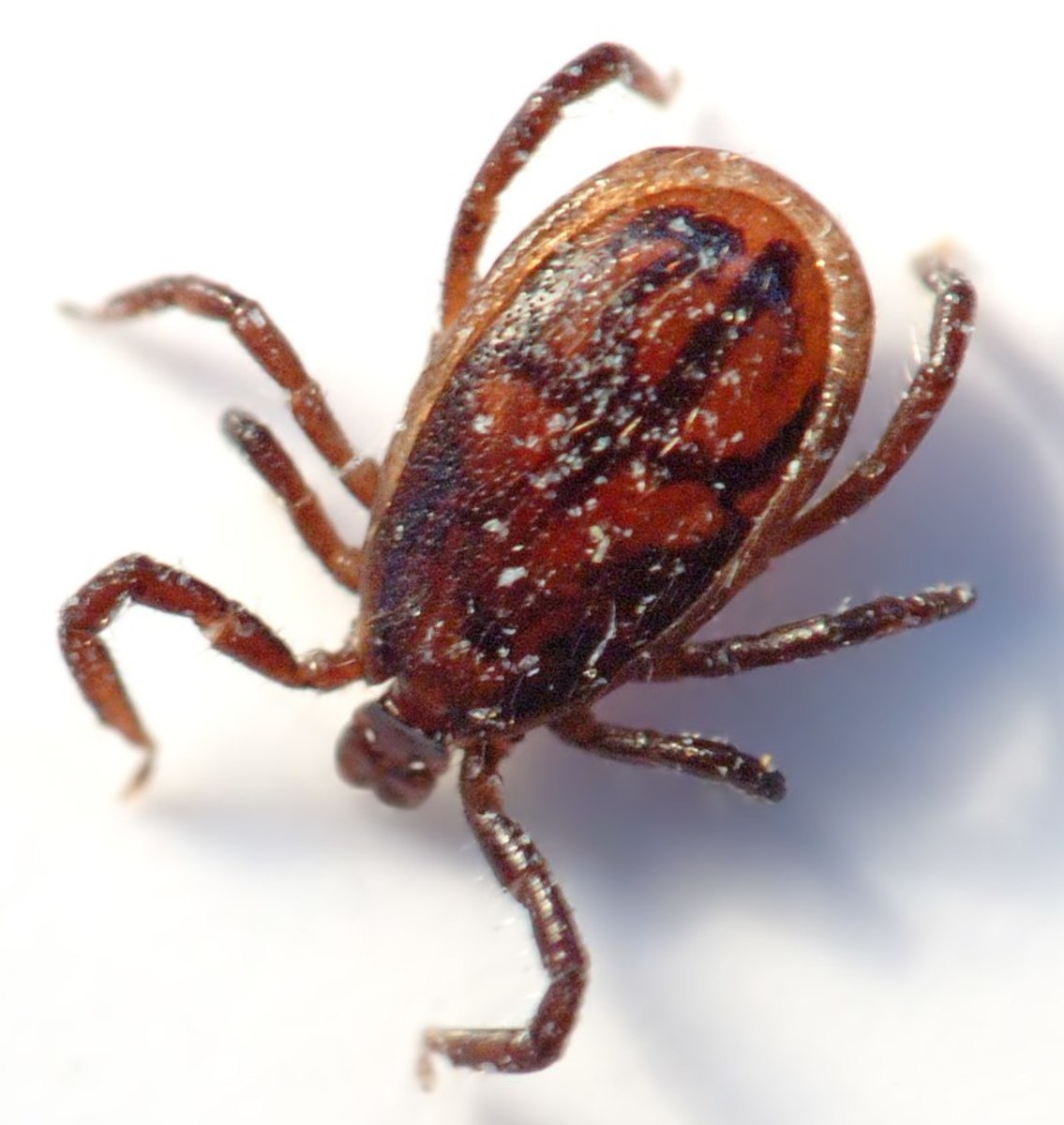 Notice This  2 mm Small Adult Tick.