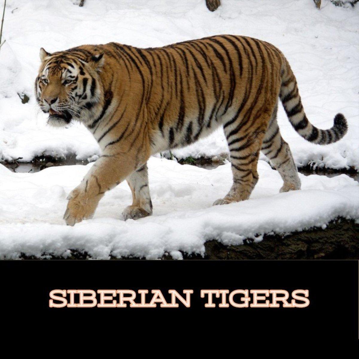 Siberian Tiger in its natural habitat.
