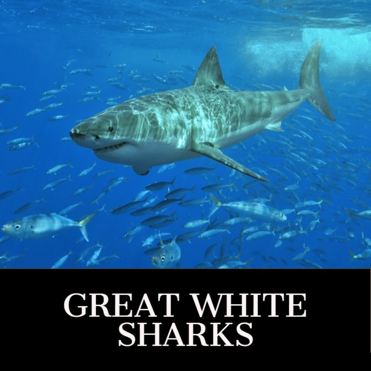 Large Great White Shark spotted in group of fish.