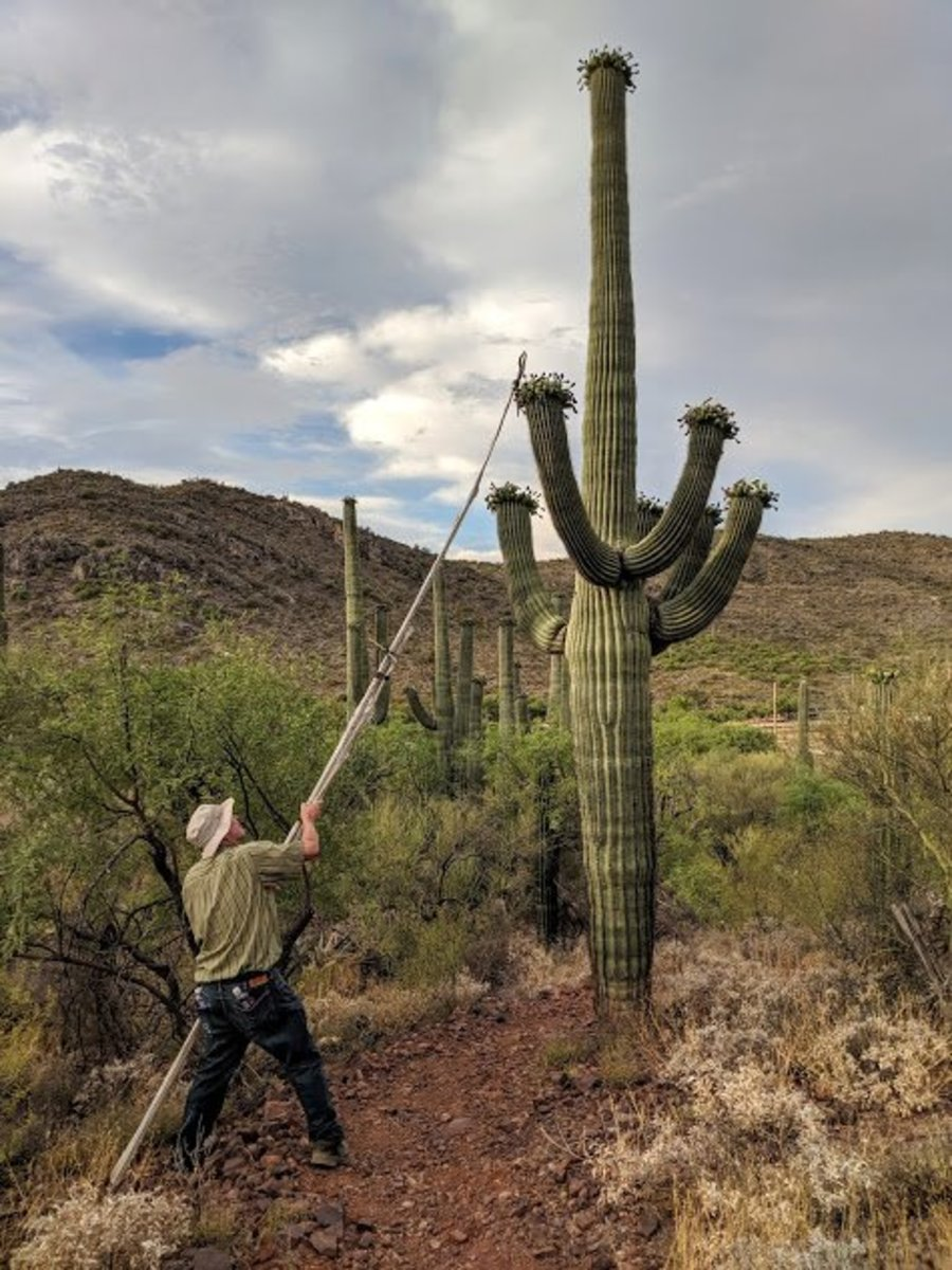 Participating in a Traditional Native Saguaro Cactus Fruit Harvest