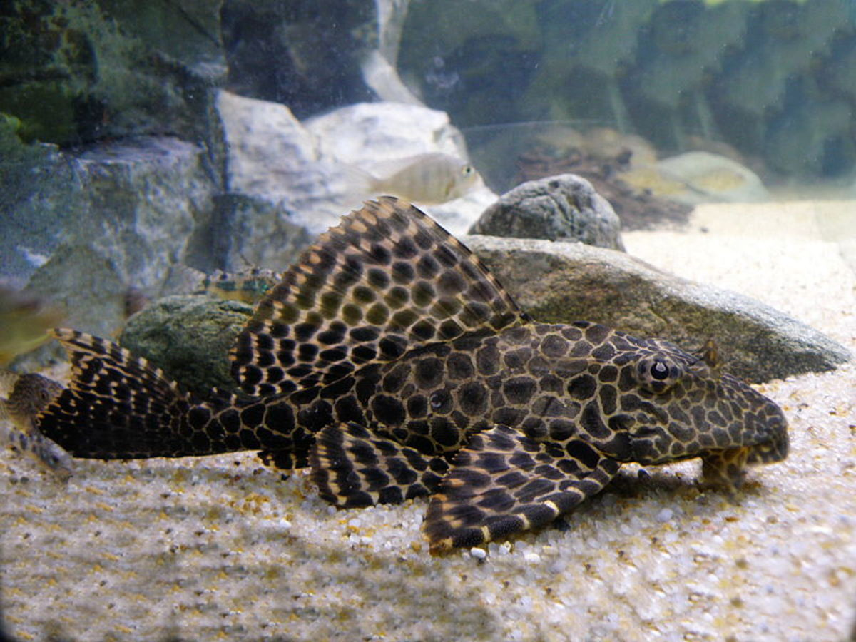 The plecostomus is one type of catfish for the freshwater aquarium.