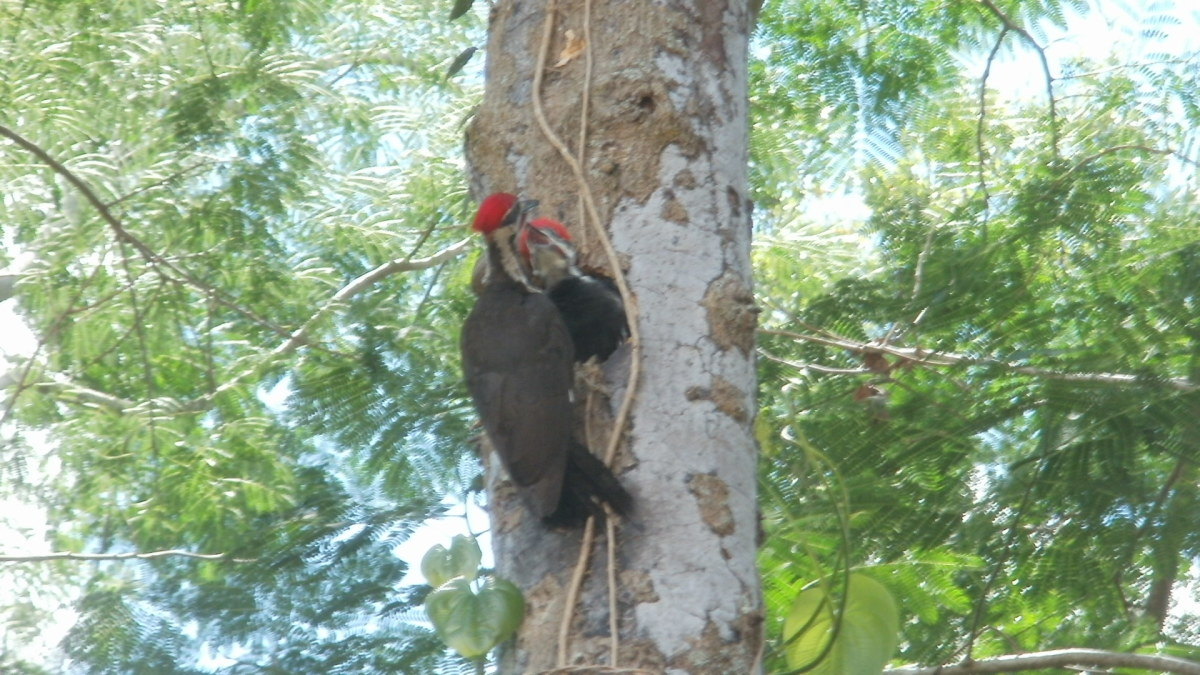 The Pileated Woodpecker: Observations of a New Family