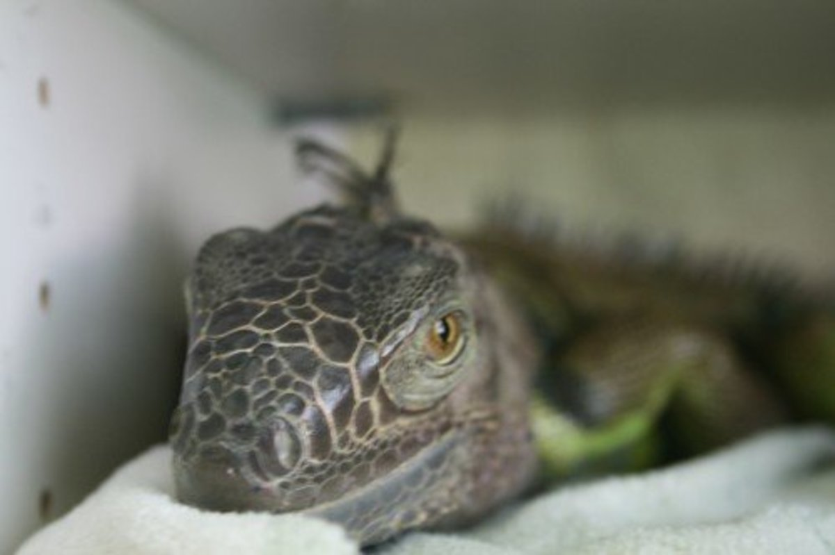 how-to-help-your-iguana-gain-weight