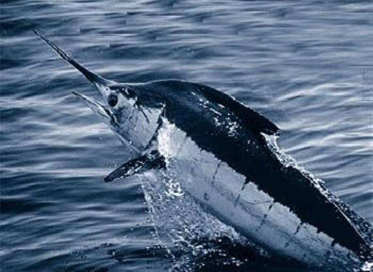 Blue Marlin.