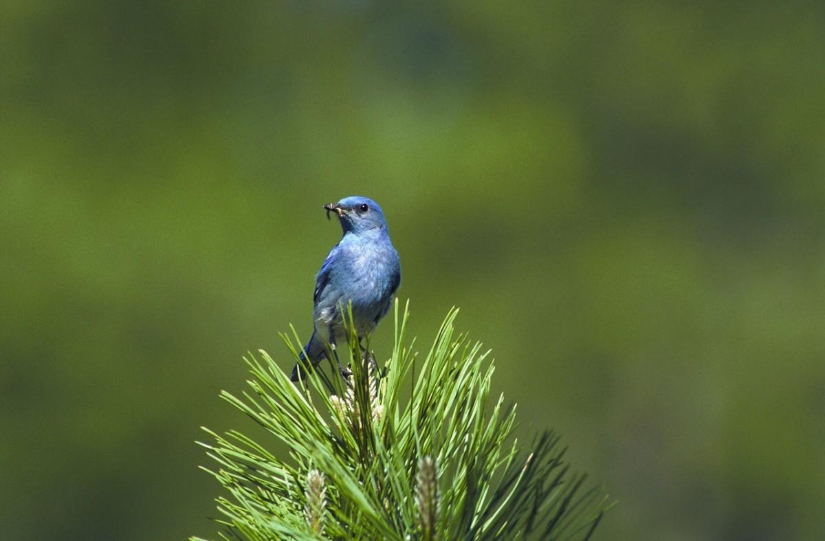 Bluebirds Fly Away