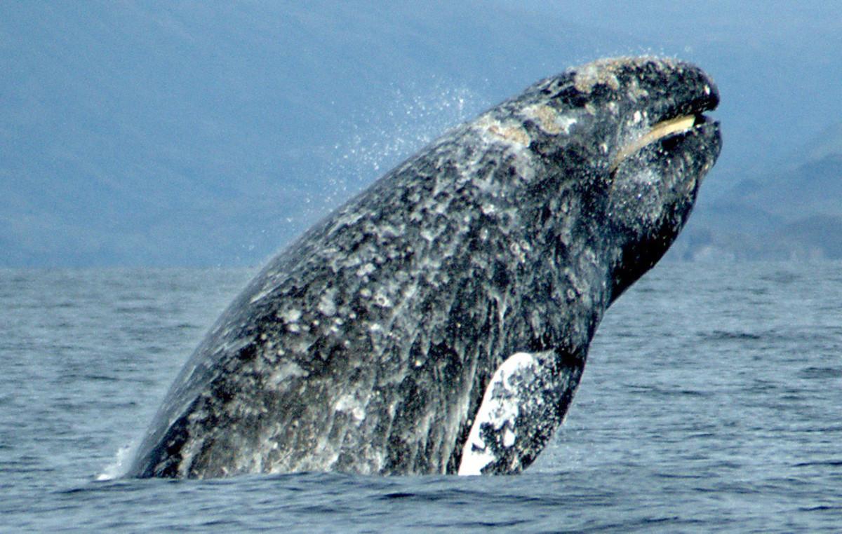 A Gray Whale breaching.