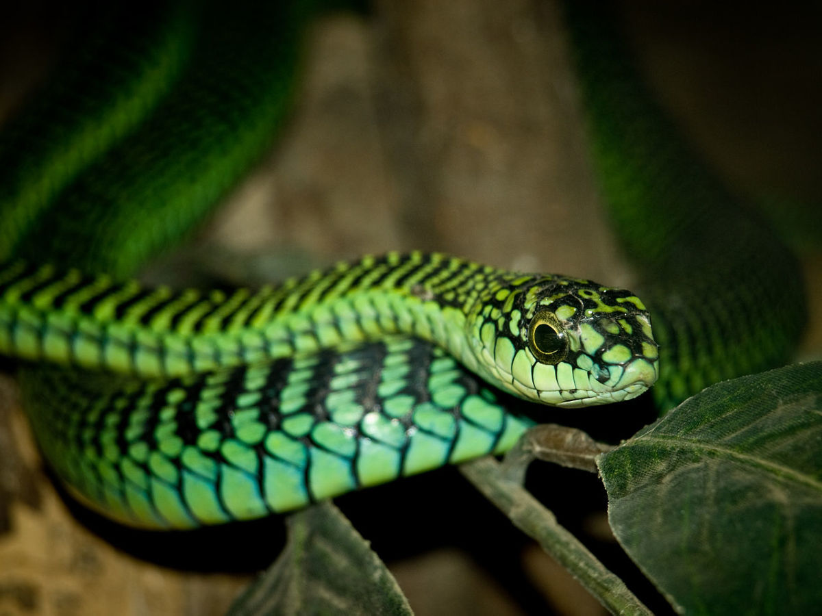 The highly venomous Boomslang snake.