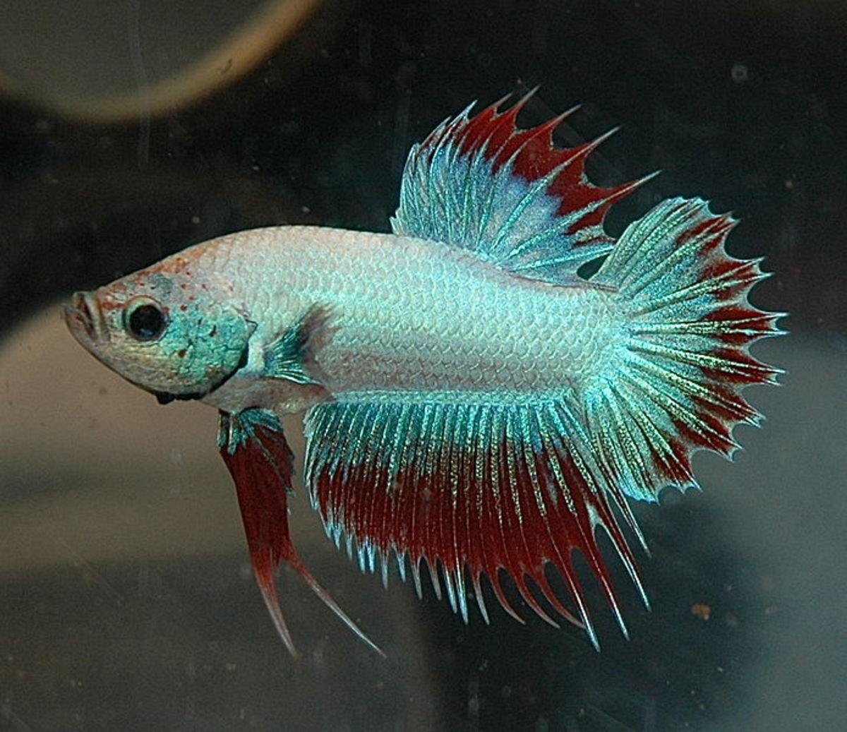 Do Betta Fish Get Lonely and Bored?