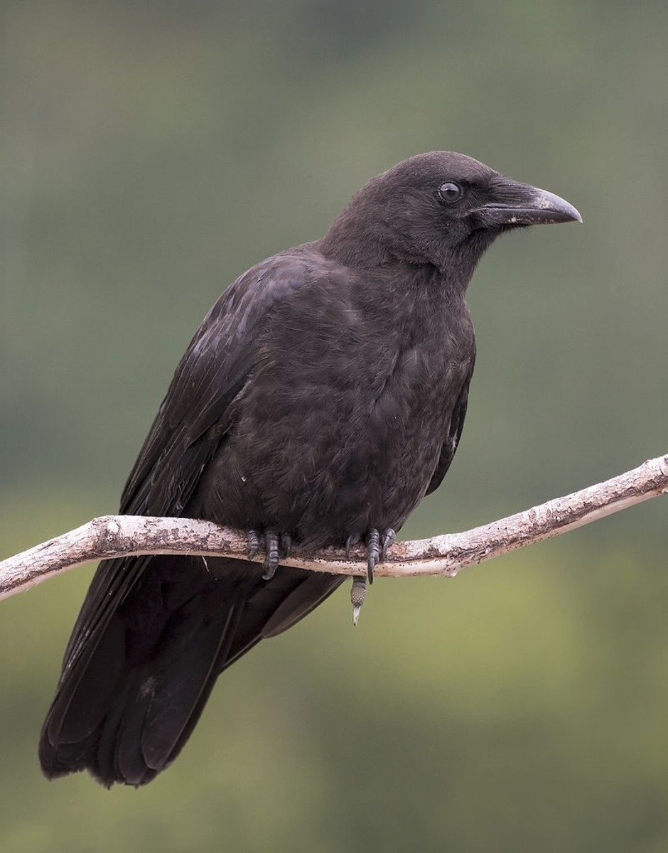 A northwestern crow in Alaska