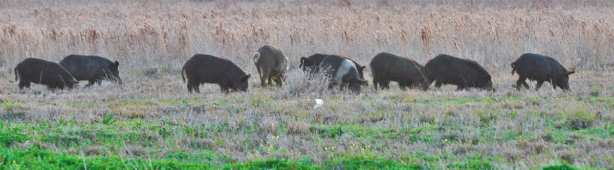 how-to-deal-with-30-50-feral-hogs
