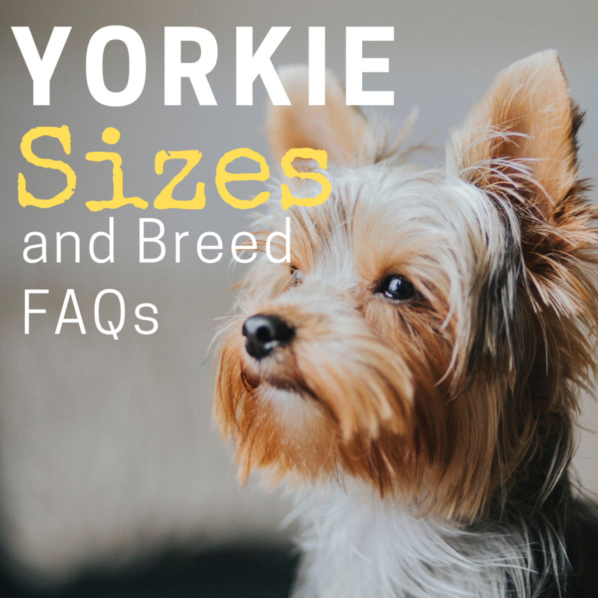 Standard And Small Yorkshire Terriers