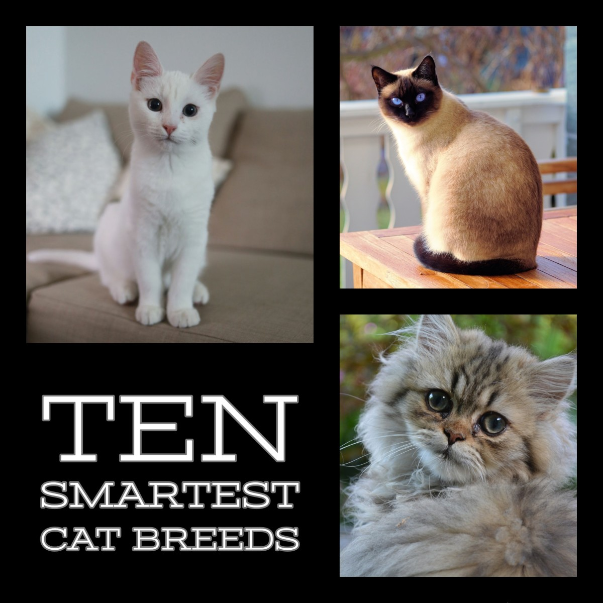 The ten smartest cat breeds in the world.