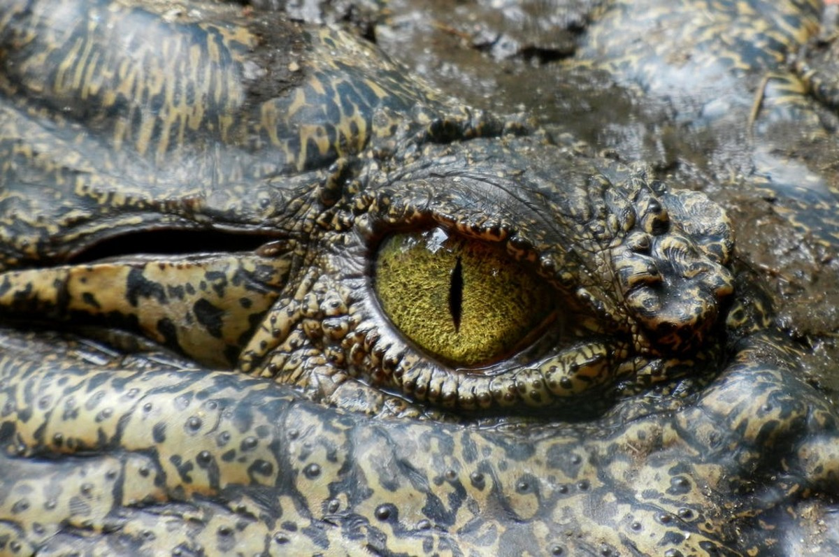 New York City Sewer Alligators